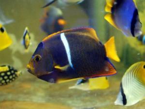 カリブ海水魚 024