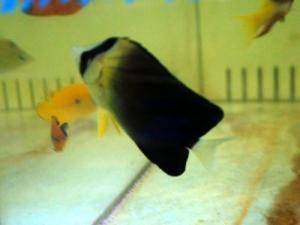 カリブ海水魚 010