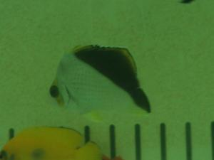 カリブ海水魚