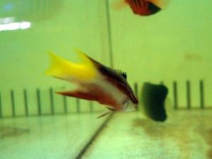 カリブ海水魚 011