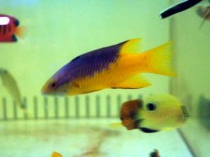 カリブ海水魚 012