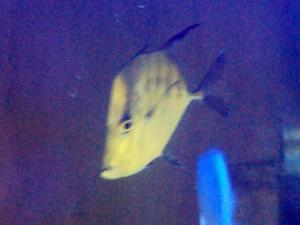 カリブ海水魚 026