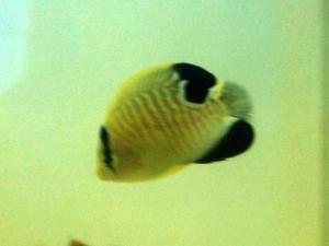 カリブ海水魚 009