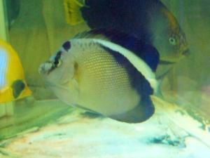 カリブ海水魚 003