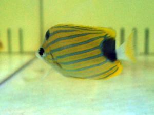 カリブ海水魚 013