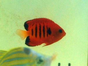カリブ海水魚 015