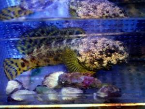 カリブ海水魚 033