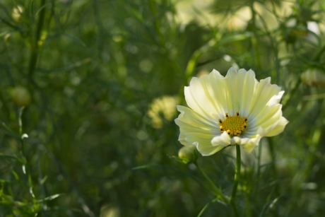lemon_yellow_cosmos1.jpg