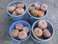 H25.10.24日本カボチャ収穫②(53P)@IMG_2719