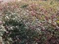 H25.10.27ピンク花ローゼルの様子@IMG_2732