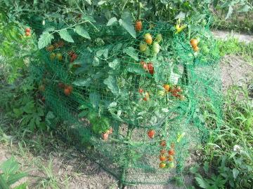 トマトにネットで