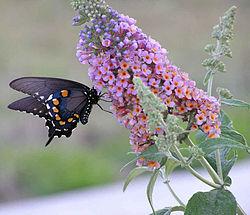 250px-Butterfly_feeding_from_butterfly_bush.jpg
