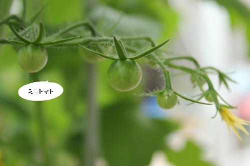 庭野菜トマト2013