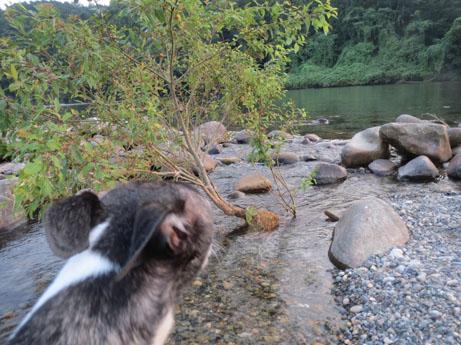 2013 8 14ココアと長良川16