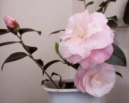 ピンクの椿April12