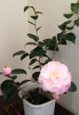 ピンクの椿4