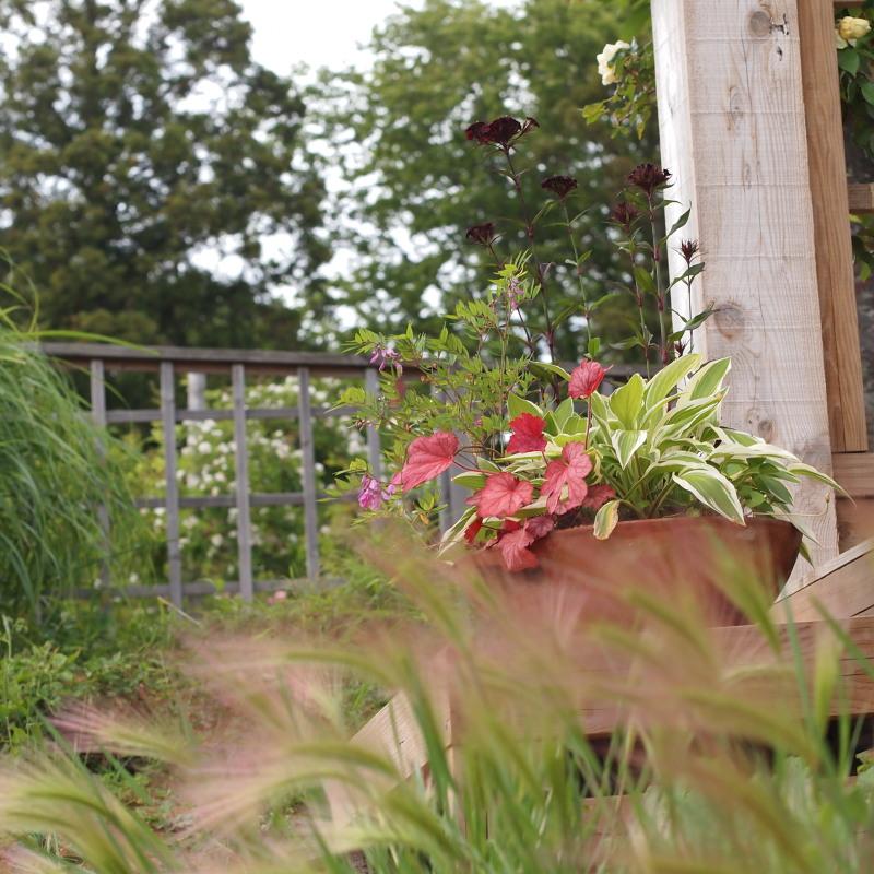 草笛の丘薔薇