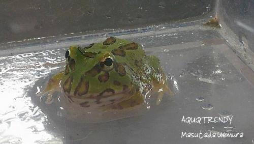 kurauwerutuno frog