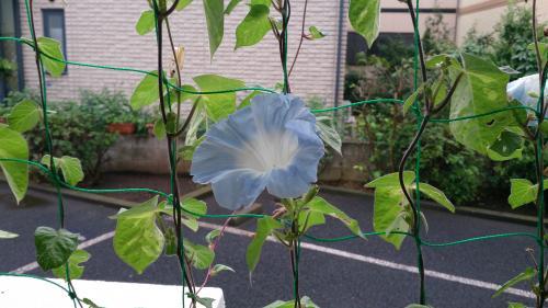 朝顔8月ブルー1輪