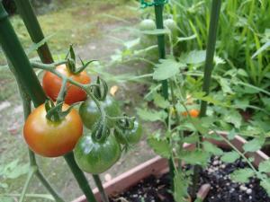 tomato1_20130713085309.jpg