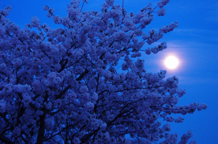 月夜の八重桜