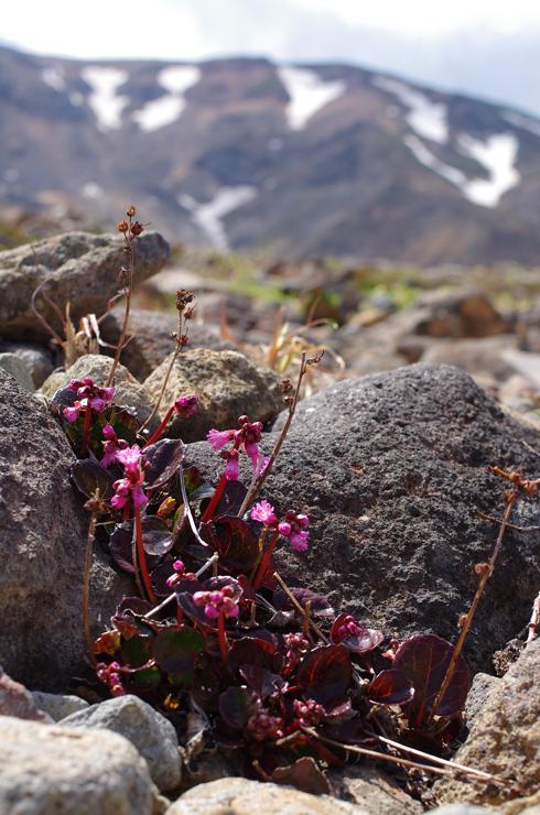 微温湯登山道に咲く