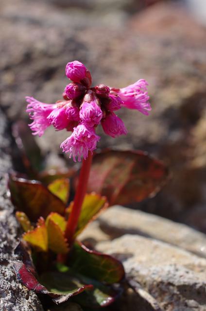 イワカガミ開花