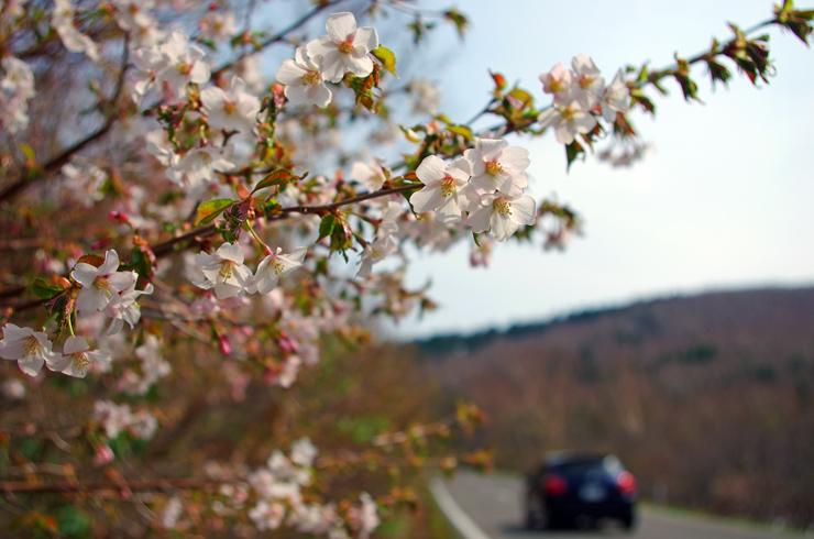 桶沼西側の峰桜