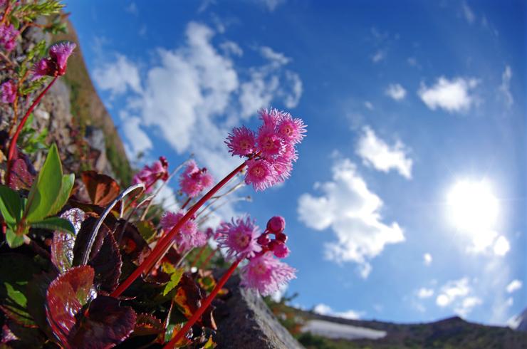 小富士山麓イワカガミ