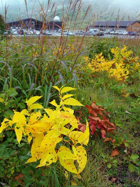 明月草の黄葉