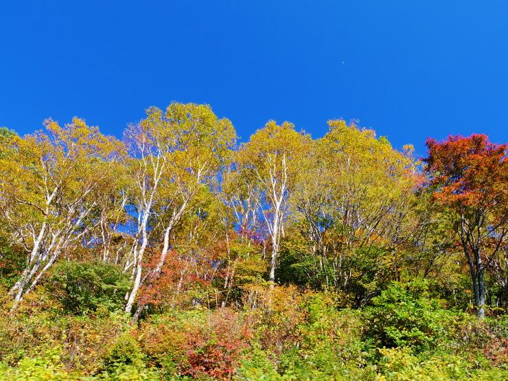 スカイライン沿線、ダケカンバの黄葉