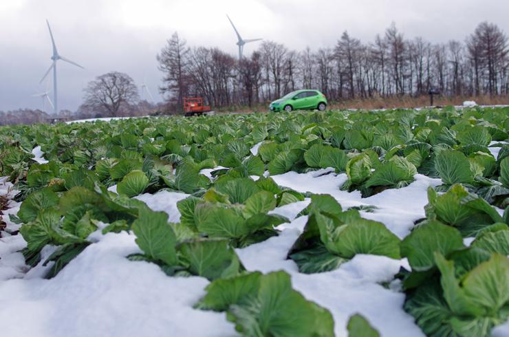 2013.11.24 キャベツ畑
