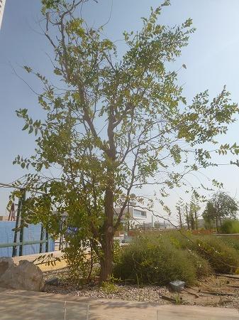 夏芽の木 1