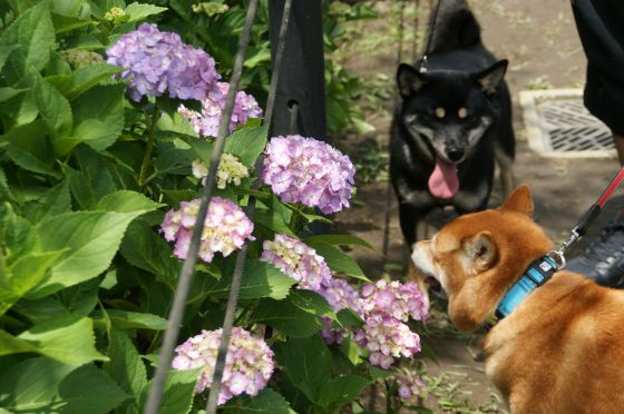 DSC01413__権現堂の紫陽花