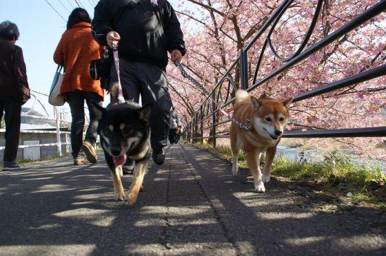 151 河津桜