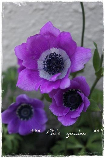 アネモネ・フルゲンス(大)ピンク~紫系3フレーム