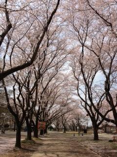 むさしの村桜