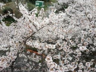 むさしの村桜ジェット上