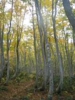 ブナの樹海