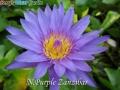 N.Purple Zanzibar