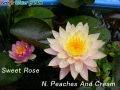 N.Sweet Rose