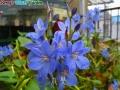 水葵(Monochoria korsakowii)
