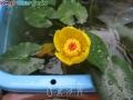 西条河骨(Niphar japonicum Var.saijoense)