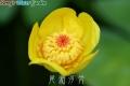 尾瀬河骨(Nuphar pumilum.Var. ozeense)