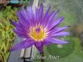 N.Blue Aster