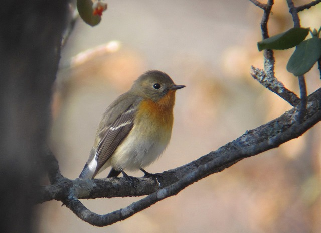 ムギマキ若鳥11