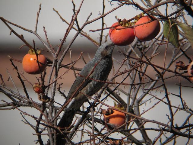 柿の実を食べるヒヨドリ
