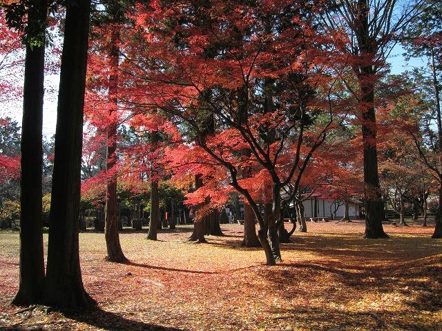 本丸跡の楓