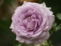イエライシャン 国際香りの薔薇新品種コンクール金賞受賞