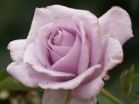 イエライシャン 2012国際香りの薔薇新品種コンクール金賞受賞